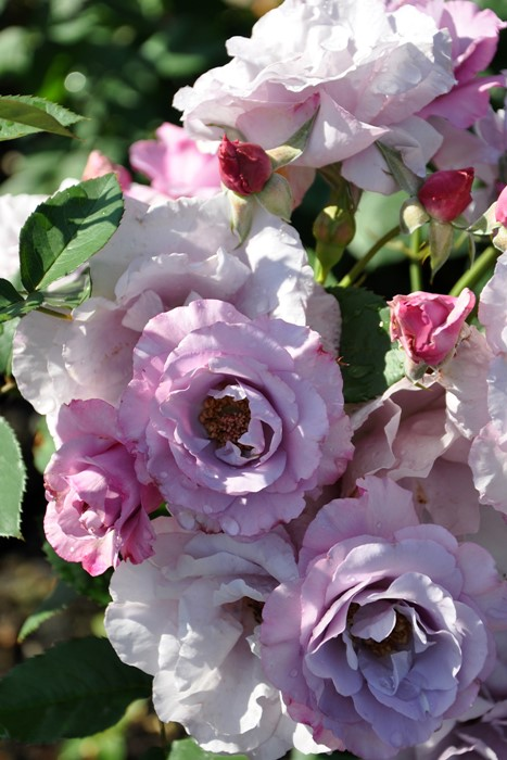 【大苗】バラ苗 ディオレサンス (Del紫) 国産苗 6号鉢植え品[契約品種]《Han-DEL》
