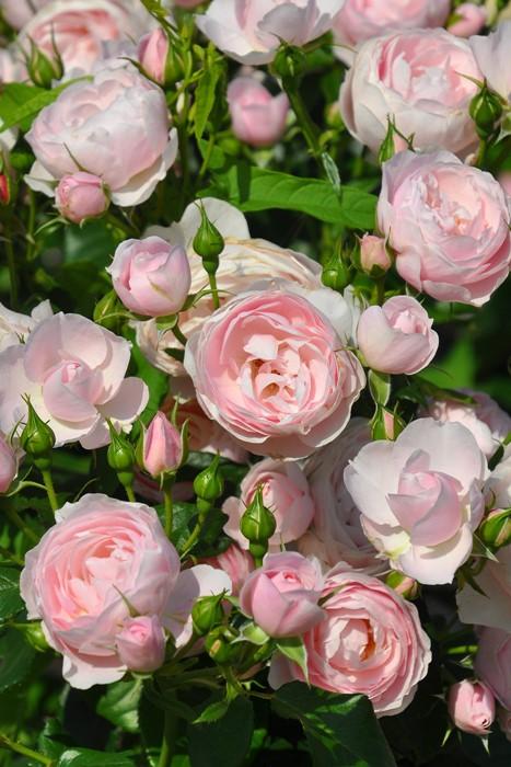 【予約大苗】バラ苗 ハンスゲーネバイン (FL淡桃) 国産苗 6号鉢植え品《J-IRM2》※2月末までにお届け