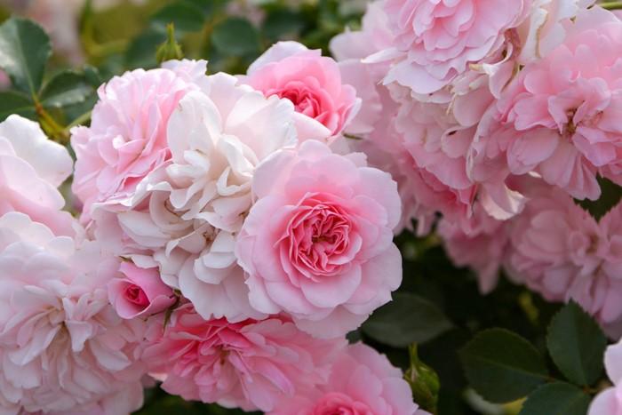 バラ苗【半長尺中苗】ボニカ82 (Sh桃) 国産苗 6号鉢植え品《J-CL15》