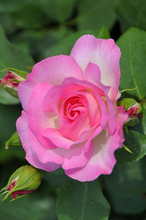 【大苗】バラ苗 ストロベリーアイス (FL覆桃) 国産苗 6号鉢植え品《J-MB15》