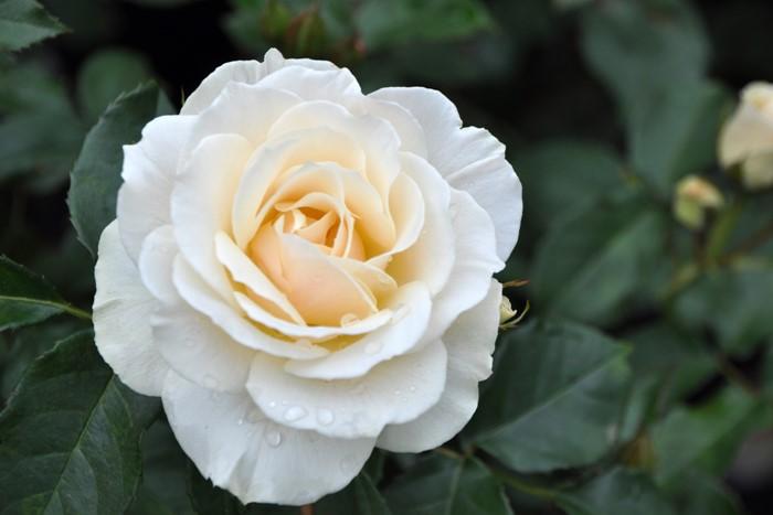 バラ苗【中苗】エーデルワイス (FL白) 国産苗 6号鉢植え品【即納】《J-FL15》