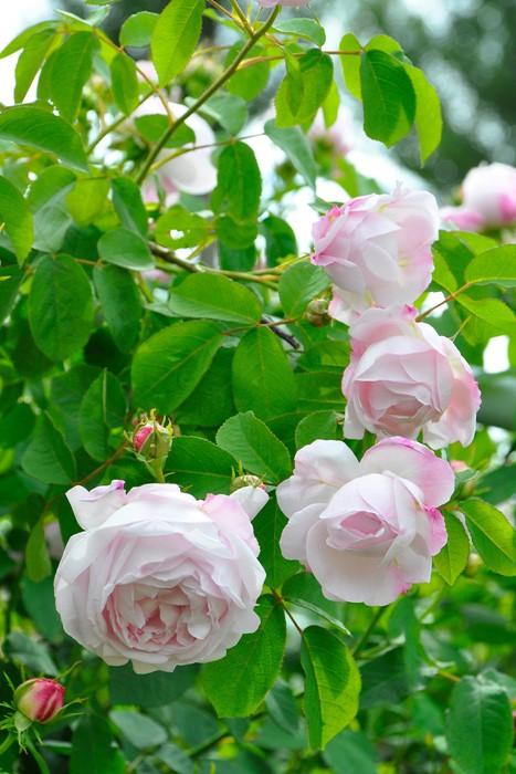 バラ苗【6号新苗】ジュノー (C淡桃) 国産苗 6号鉢植え品《J-OC20》 0707販売