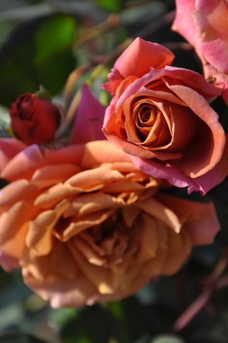 【大苗】バラ苗 ぜん【禅】ゼン (FL茶) 国産苗 6号鉢植え品【即納】[契約品種]《OM-ZEN》
