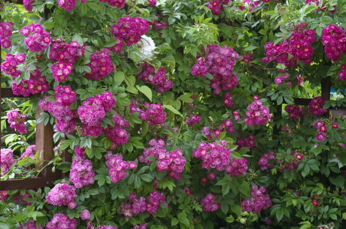 【予約大苗】バラ苗 ペレニアルブルー (Cl紫) 国産苗 6号鉢植え品《IR-IRO3》※2月末までにお届け
