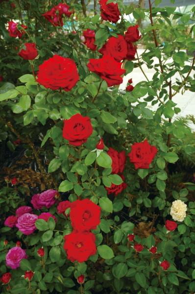 【大苗】バラ苗 つるヘルツアス (Cl赤) 国産苗 6号鉢植え品【即納】《IR-IR3》