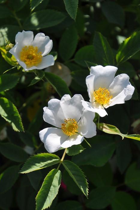 バラ苗【中苗】ロサラクサ (SP桃) 国産苗 6号鉢植え品【即納】《J-OB20》