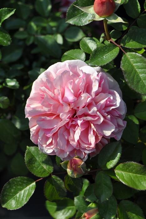 【大苗】バラ苗 チッペンデール【Chippendale】(Sh桃) 国産苗 6号鉢植え品《J-CL25》