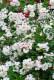 バラ苗【6号新苗】ムーンライト (HMsk白) 国産苗 6号鉢植え品《J-OC20》 0707販売