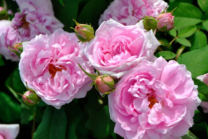 【大苗】バラ苗 コントドゥシャンボール (P薄桃) 国産苗 6号鉢植え品《J-MC15》