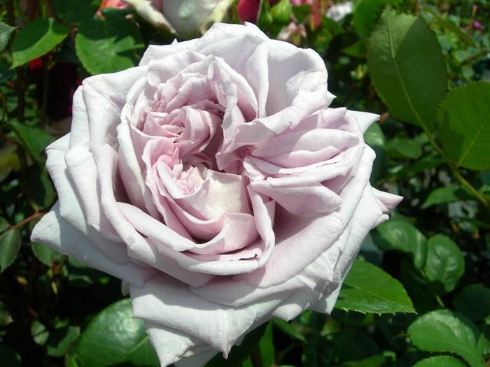 【大苗】バラ苗 インターメッツォ (HT淡紫) 国産苗 6号鉢植え品《J-HT20》