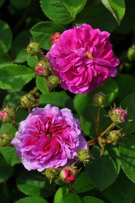 バラ苗【6号新苗】ルッセリアナ (R紫桃) 国産苗 6号鉢植え品《J-OC20》