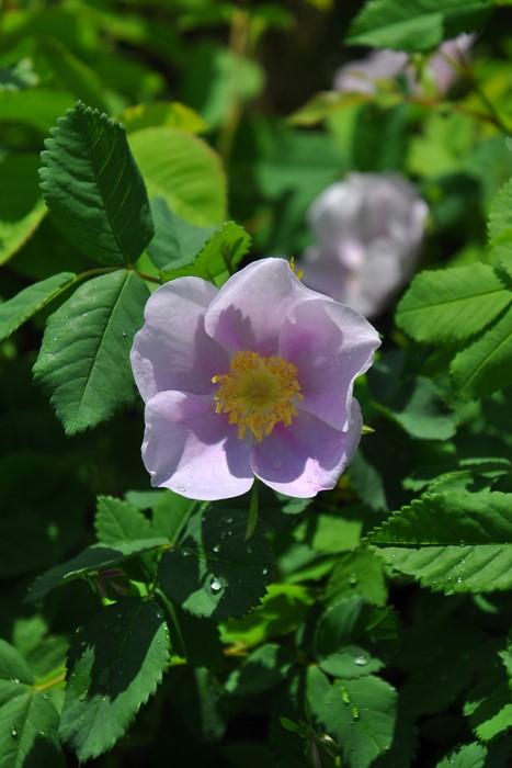 バラ苗【中苗】ロサシナモメア (Sp紫) 国産苗 6号鉢植え品【即納】《J-OB20》