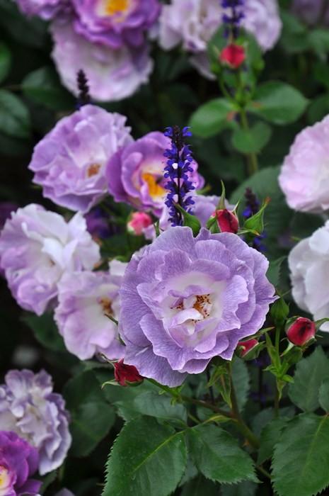 バラ苗【中苗】ブルーフォーユー (Fl紫) 国産苗 6号鉢植え品[契約品種]《J-ZEK》