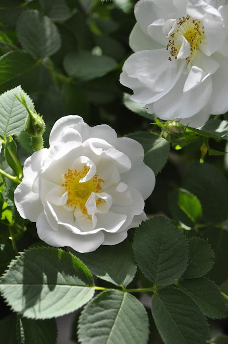 バラ苗【6号新苗】アルバセミプレナ (A白) 国産苗 6号鉢植え品《J-OC15》 0707販売