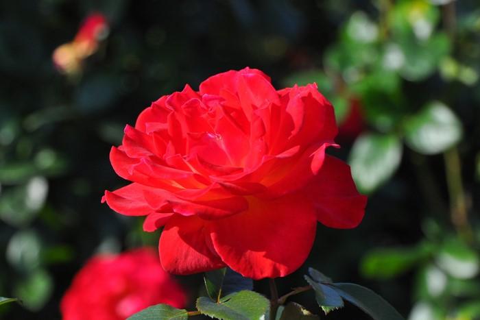 【大苗】バラ苗 こうさい【光彩】(HT赤) 国産苗 6号鉢植え品《J-HT20》