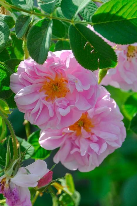 【予約大苗】バラ苗 カザンリク (D桃) 国産苗 6号鉢植え品《J-MC15》※2月末までにお届け
