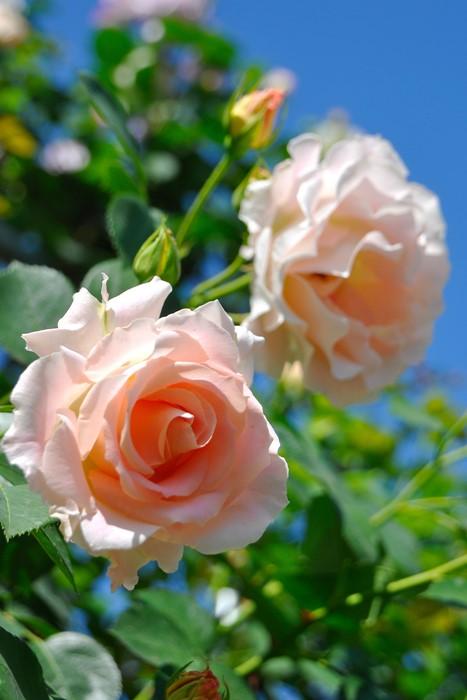 【大苗】バラ苗 ロココ (Cl杏) 国産苗 6号鉢植え品【即納】《J-MC》