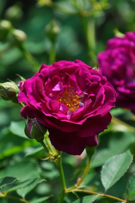 バラ苗【半長尺中苗】アイヴァンホー (CL赤紫) 国産苗 6号鉢植え品[契約品種]《J-ZEK》