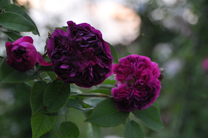 【予約大苗】バラ苗 ユアインネルンアンブロ (HP紫) 国産苗 6号鉢植え品《J-MC15》※2月末までにお届け