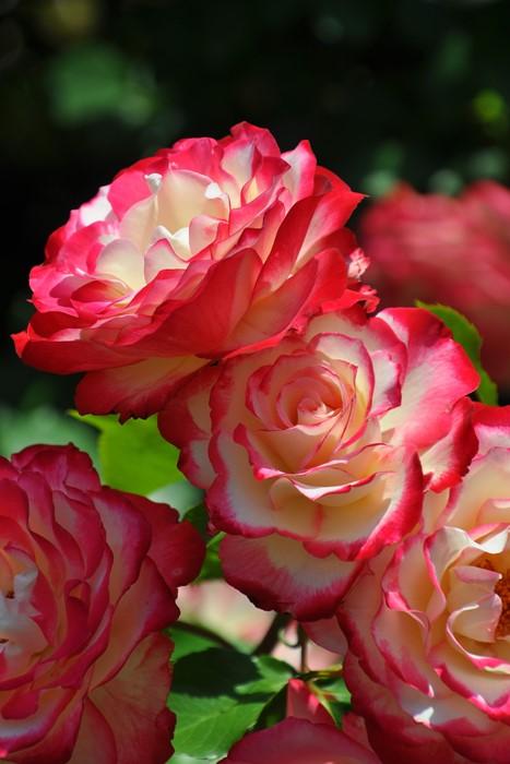 【大苗】バラ苗 ジュビレデュプリンスドゥモナコ (FL覆赤) 国産苗 6号鉢植え品《YM-B_J-MB》