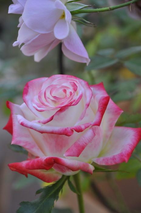 【大苗】バラ苗 アンペラトリスファラー (HT覆白赤) 国産苗 6号鉢植え品《J-HT15》 0321追加
