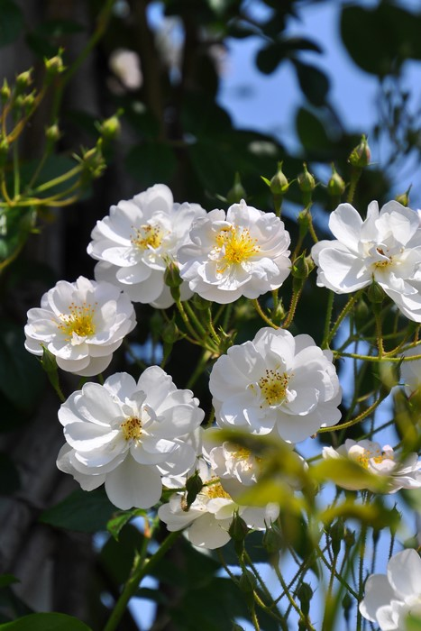 【大苗】バラ苗 ロサフィリペスブレンダコルヴィン (Sp淡桃) 国産苗 6号鉢植え品【即納】
