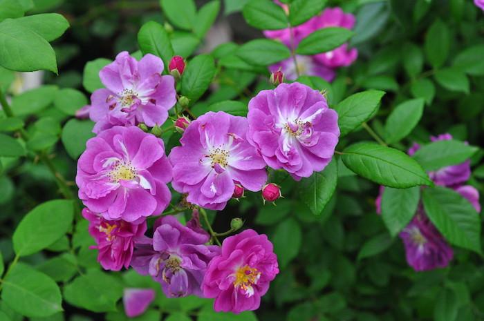 バラ苗【6号新苗】パープルスカイライナー (Sh紫) 国産苗 6号鉢植え品《J-CL20》 0707販売