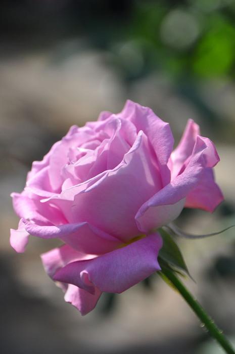 【大苗】バラ苗 シャンテリーレース (HT複紫) 国産苗 6号鉢植え品《J-HT20》