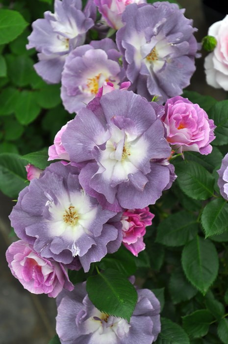 【予約大苗】バラ苗 ブルーフォーユー (FL紫) 国産苗 6号鉢植え品[契約品種]《OM-ZEK》 ※2月末までのお届け