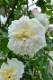 バラ苗【6号新苗】アルベリックバルビエ (R白) 国産苗 6号鉢植え品《J-OC10》 0707販売