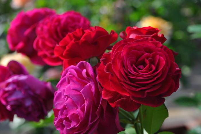 バラ苗【中苗】アンプラント (Dor紫) 国産苗 6号鉢植え品【即納】[契約品種]《Han-DOR》