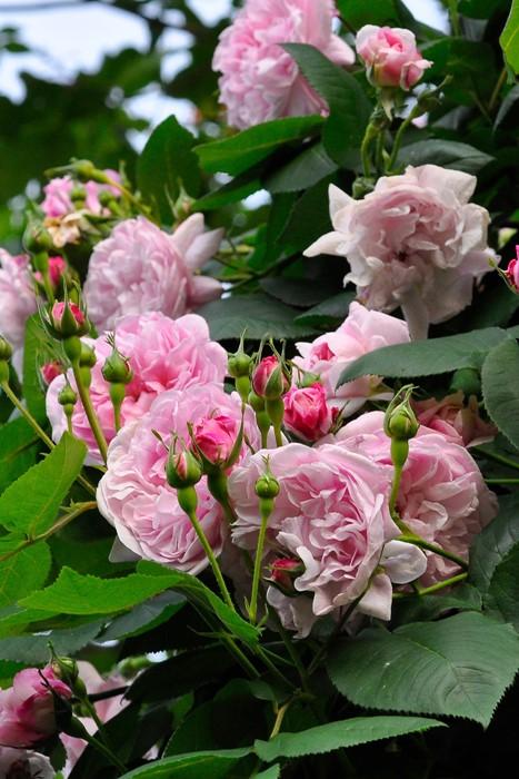 バラ苗【6号新苗】ファンタンラトゥール (C桃) 国産苗 6号鉢植え品《J-OC15》 0707販売