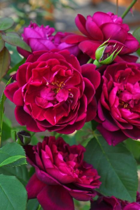 バラ苗【中苗】アンダーザローズ (UR黒赤) 国産苗 6号鉢植え品【即納】《KMG-GR》