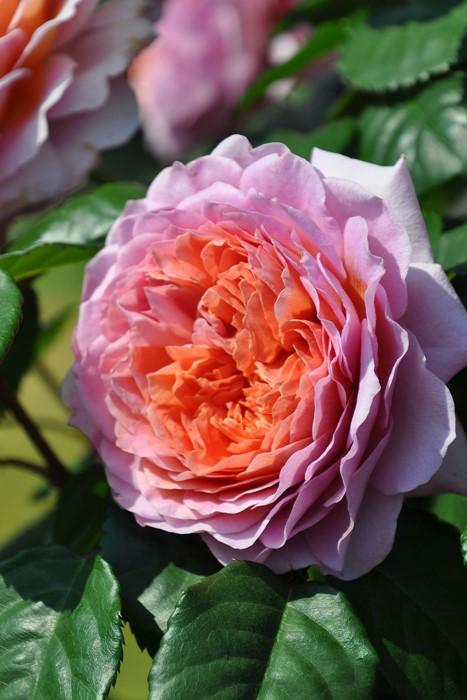 【予約大苗】バラ苗 アイスフォーゲル (CL桃) 国産苗 6号鉢植え品《J-IRM2》※2月末までにお届け