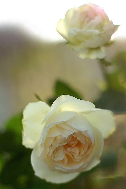 バラ苗【中苗】ブノワマジメル (UR白) 国産苗 6号鉢植え品【即納】《KMG-GR》