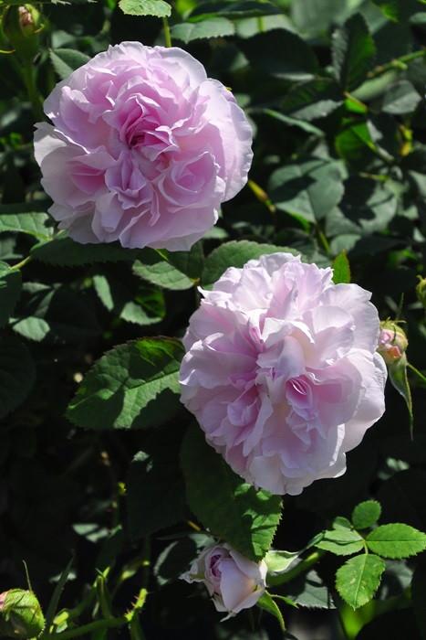 バラ苗【6号新苗】ブラッシュダマスク (D桃) 国産苗 6号鉢植え品《J-OC20》