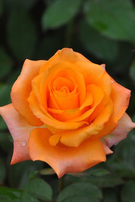 バラ苗【6号新苗】パレオ (HT橙) 国産苗 6号鉢植え品《J-HT25》 0707販売