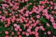 バラ苗【6号新苗】はなみがわ【花見川】(Sh桃) 国産苗 6号鉢植え品《J-CL20》 0707販売