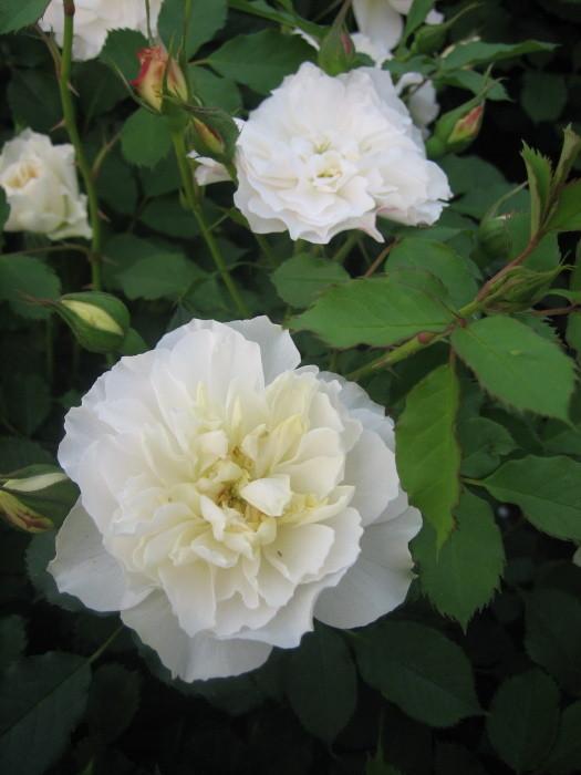 【大苗】バラ苗 ジェントリーウィープス (FL白) 国産苗 6号鉢植え品【即納】《KMG-KMG》