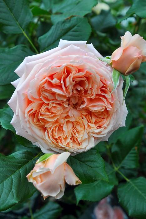 【大苗】バラ苗 まそら【真宙】マソラ (Sh橙) 国産苗 6号鉢植え品《J-YR》
