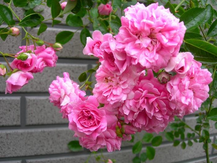 バラ苗【6号新苗】ドロシーパーキンス (R桃) 国産苗 6号鉢植え品《J-OC15》 0707販売