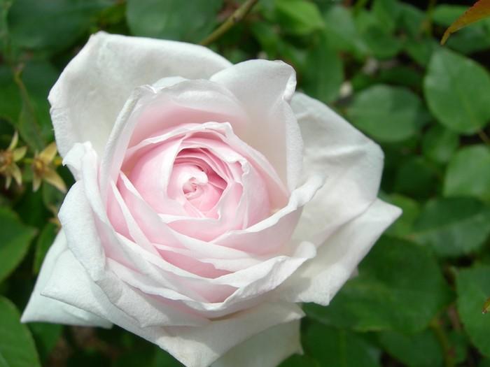 【大苗】バラ苗 スヴニールドゥラマルメゾン (木立B薄桃) 国産苗 6号鉢植え品【即納】《J-OB》