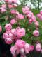 バラ苗【6号新苗】ローブリッター (Sh桃) 国産苗 6号鉢植え品《J-CL10》 0707販売