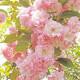 桜餅 4個(簡易箱) 賞味期間:冷凍30日間 (冷凍便)販売2月〜4月