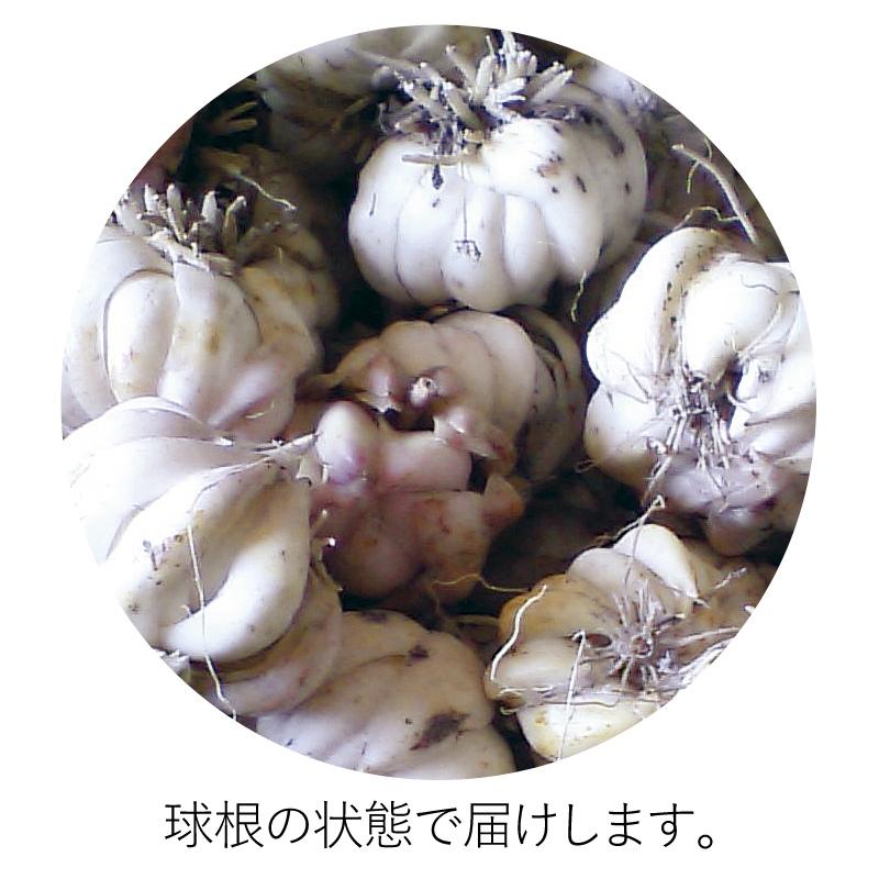 【予約受付中10月お届け】ササユリ球根 3 球セット