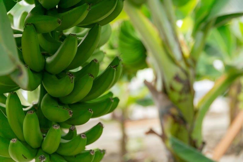岡山バナナ&松崎農場ミルクでつくる「プレミアムバナナジェラート」【送料込】