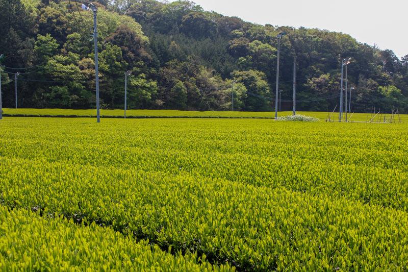 【Gold】特上深蒸煎茶(3セット)【送料込】