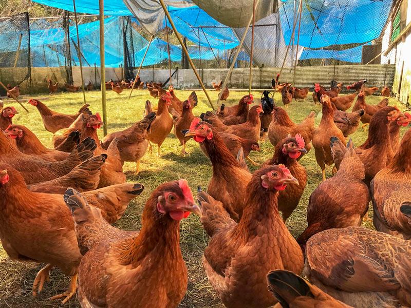 土佐ジロー協会加入農場 みながわ農場の土佐ジロー有精卵 6個入り×4箱=24個【送料込】
