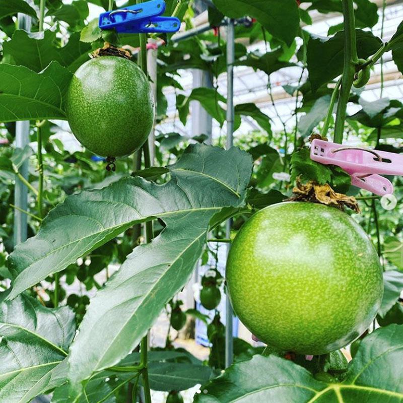 宮崎県産 極上パッションフルーツ(10玉~12玉)& 季節のフルーツジャムセット(150g×4本)【送料込】