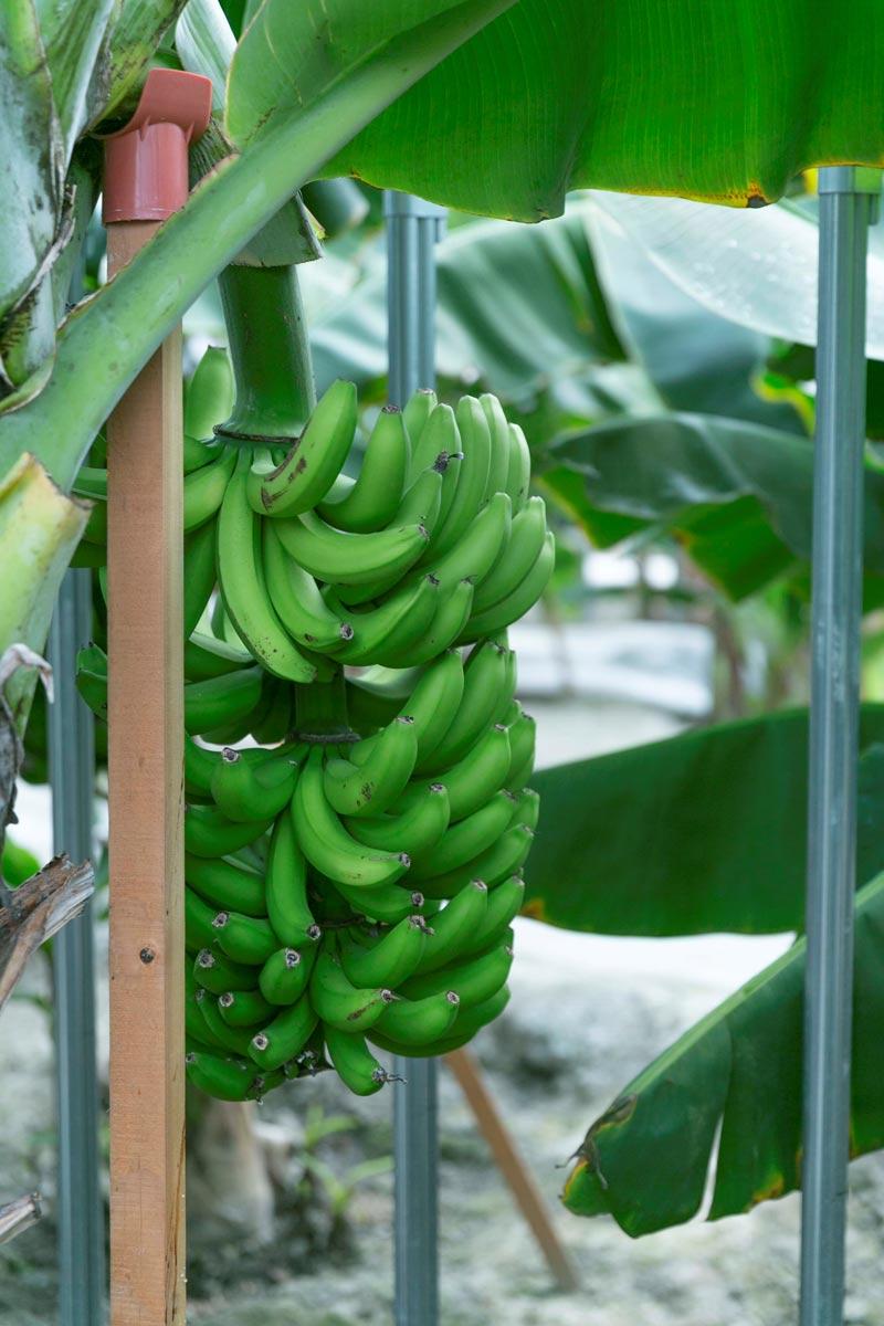 おかやまバナナ6本セット 【送料込】